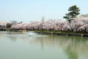 桜と八条が池