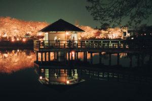 桜と八条が池のライトアップ